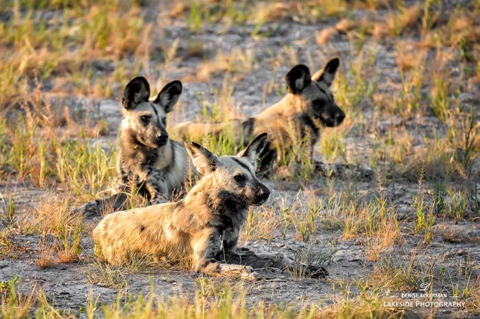 Wild-dog-pack-Savuti-Marsh