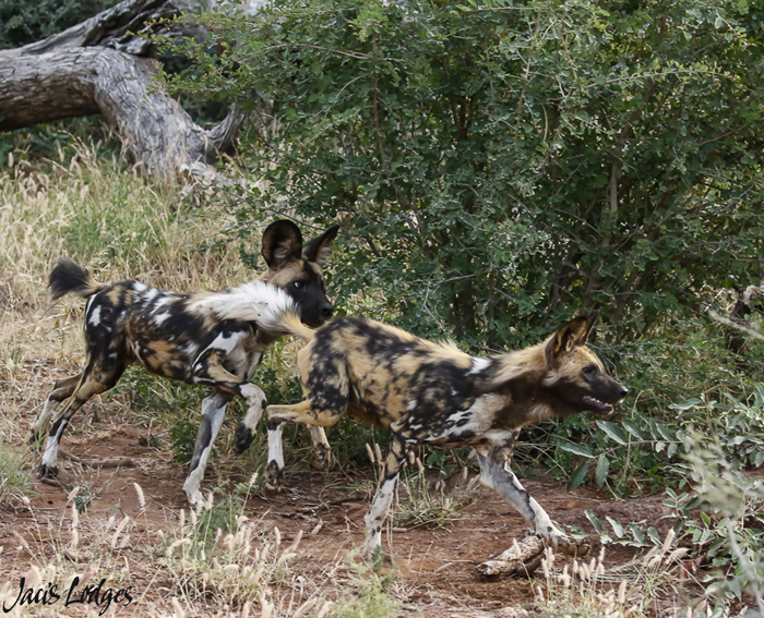 Wild-dog-pair-running