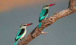 Woodland_kingfishers