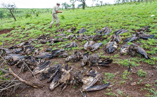 Poisoned African white-backed vultures on a game reserve in KwaZulu-Natal ©Andre Botha