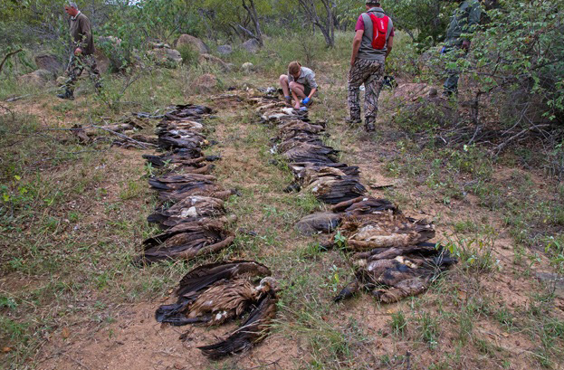 Vultures poisoned found poisoned in Limpopo province in 2015 ©Andre Botha