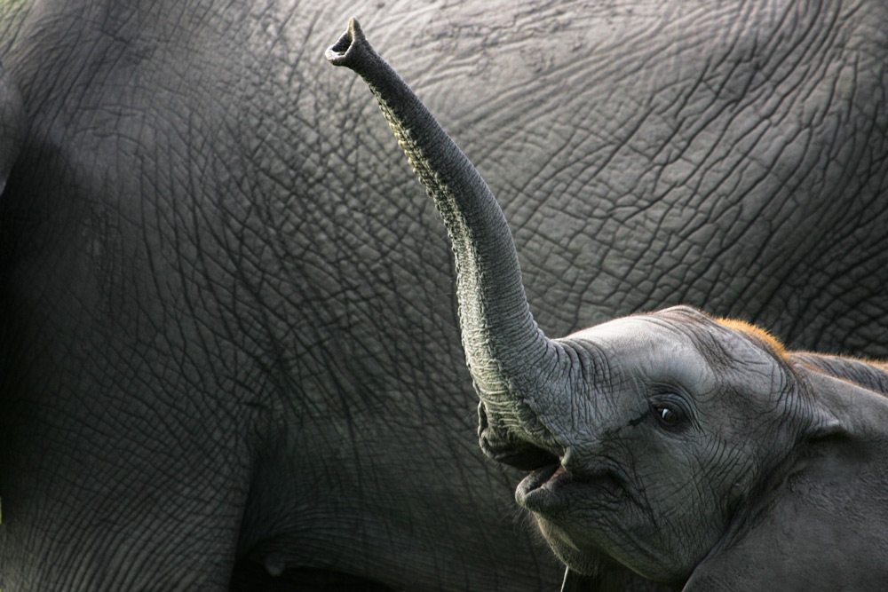 A baby ellie waves at the camera in Savuti, Botswana ©Jack Hochfeld