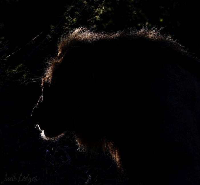 backlit-lion
