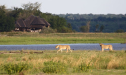 botswana-safari-lions
