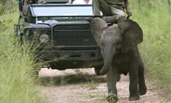 elephant-charge