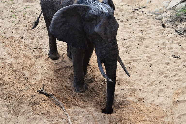 An elephant drinks from a self-made waterhole in the Satara area of the Kruger National Park