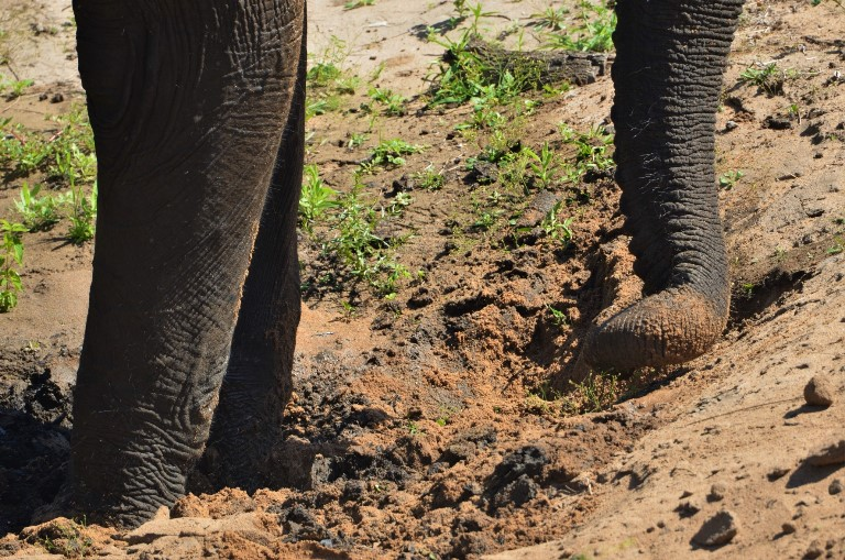 To dig a waterhole, elephants use both their big feet and their long trunk and tusks