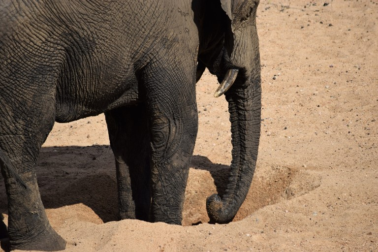 An elephant digs for water