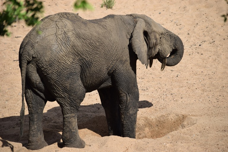 An elephant uses its trunk to drink from a hole it has dug