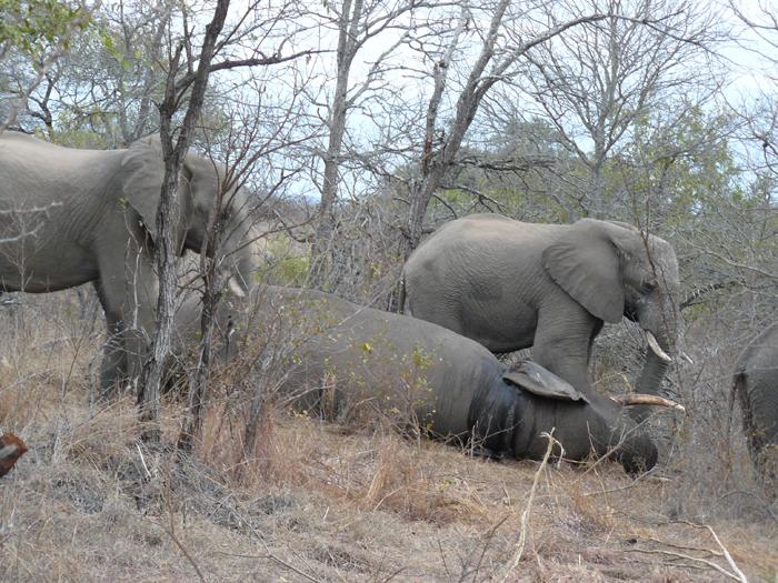 elephant-funeral
