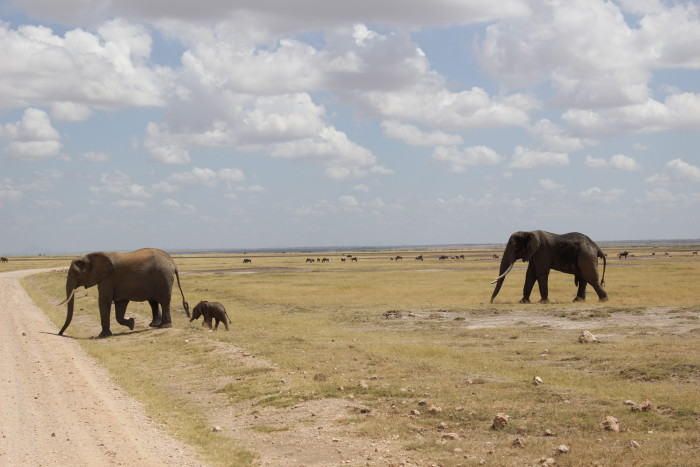 A baby elephant crosses the road with its mum and dad in Amboseli ©David Winch