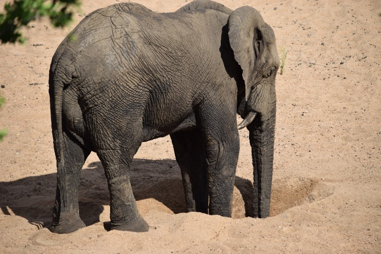 An elephant searches for water in the dry Sand riverbed