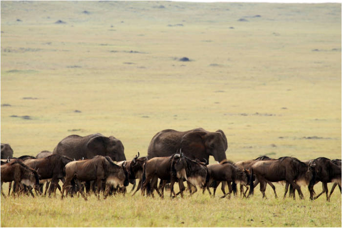 elephant wildebeest migration