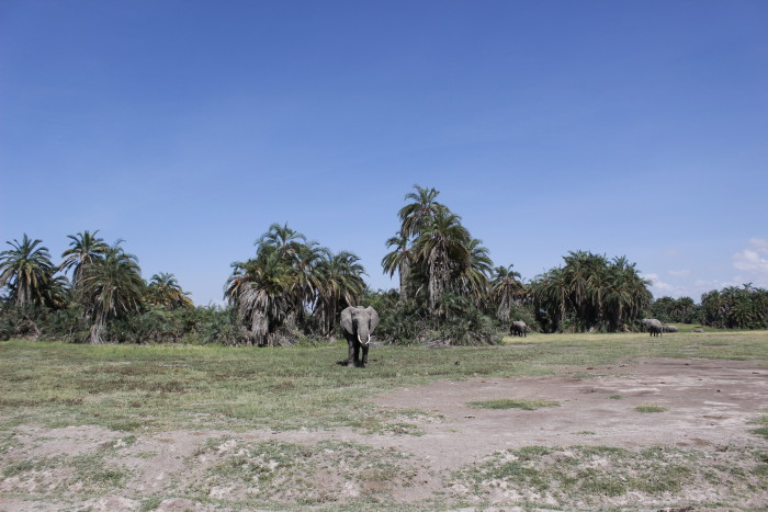 An elephant-astic experience in Amboseli ©David Winch