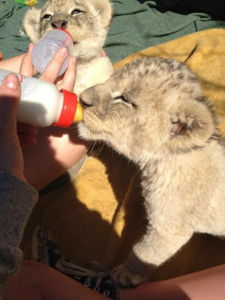 feeding-cubs