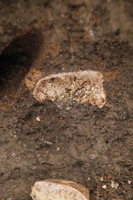 fungus-termite