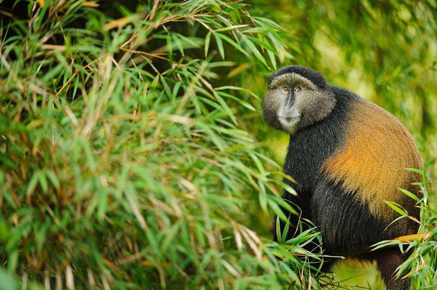 golden-monkey