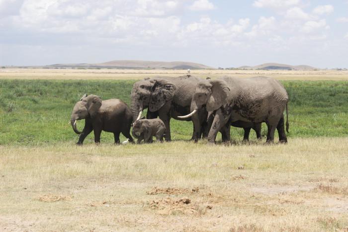 A herd of elephants wanders past in Amboseli National Park ©David Winch