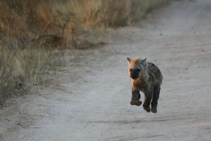 hyena-cub-running