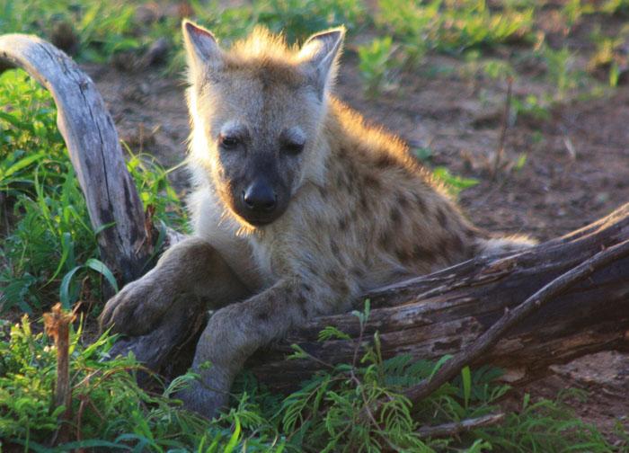 hyena-cub-with-log