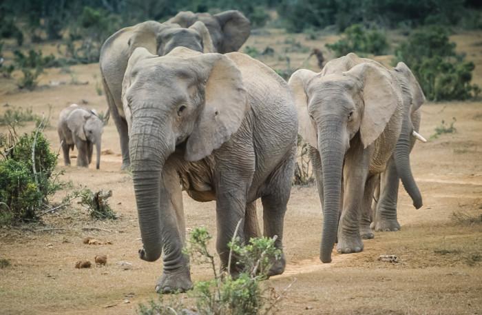 elephants-addo-elephant-park