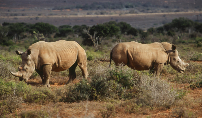 rhinos-south-africa-game-reserve