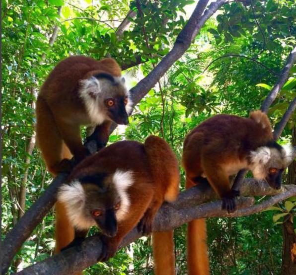 lemurs-Madagascar
