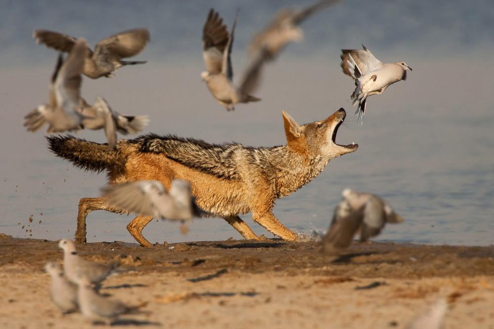 A jackal catches doves in Etosha ©Johan J Botha