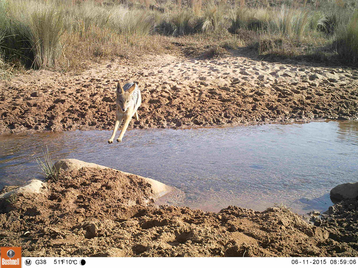 A black-backed jackal crossing a shallow tributary