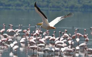 kenya pelican flamingo