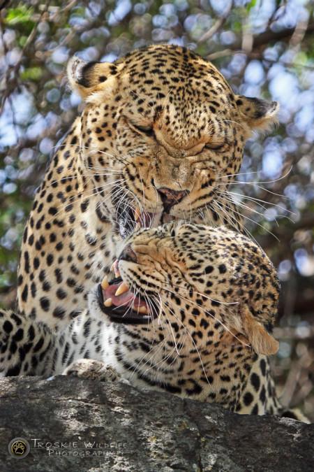 leopards-mating-kruger-national-park