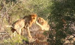 lion-attack