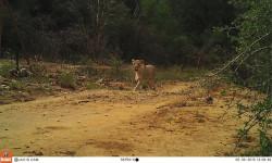 lion-camera-trap
