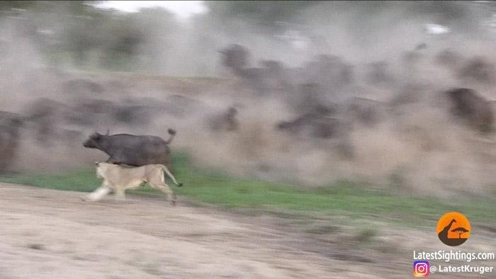 lion-chasing-buffalo-mala-mala