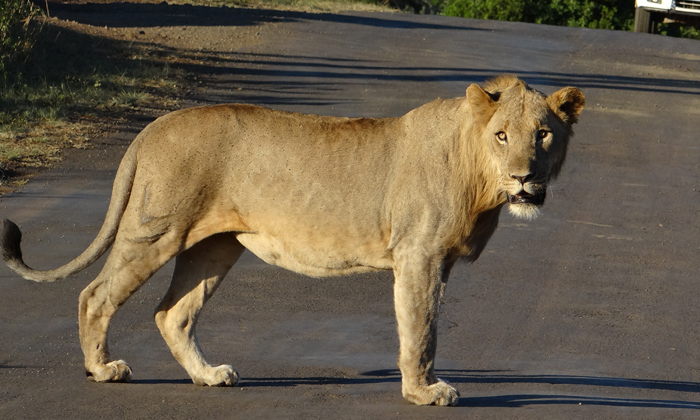 lion-crossing-the-road