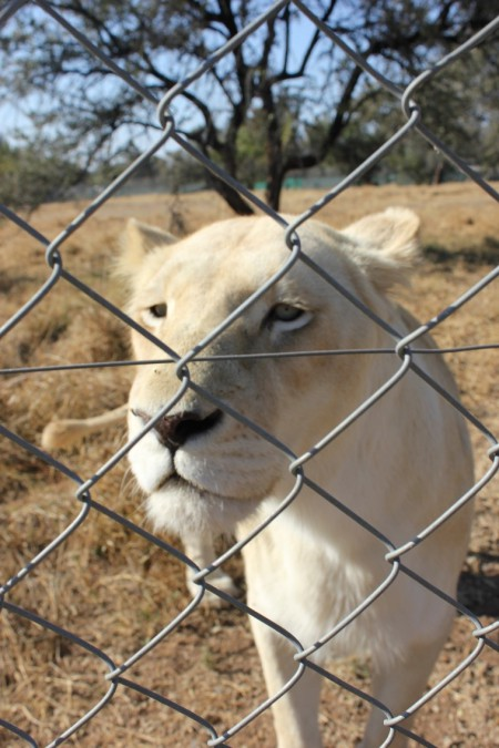 lioness-in-cage