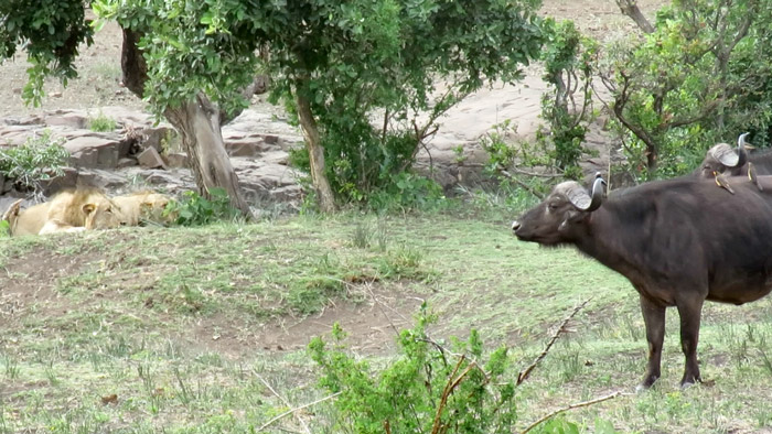 lions-buffalo-kruger