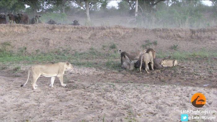 lions-buffalo-mala-mala