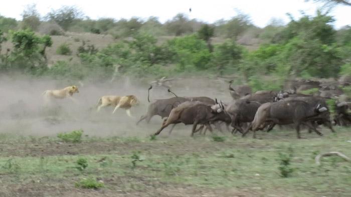 lions-buffalos-kruger