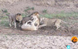 lions-mala-mala
