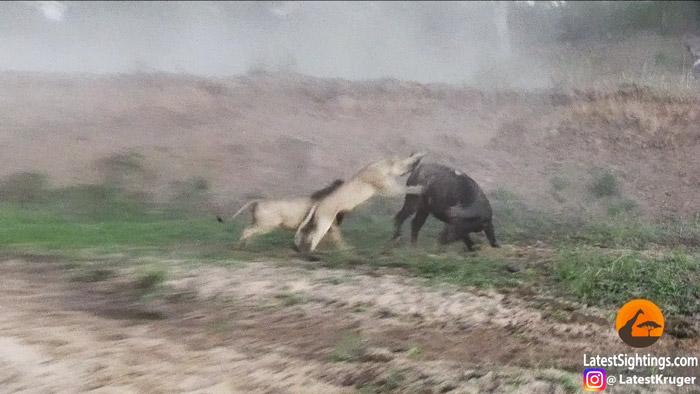 lions-on-buffalo-mala-mala