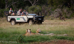 lions-on-safari