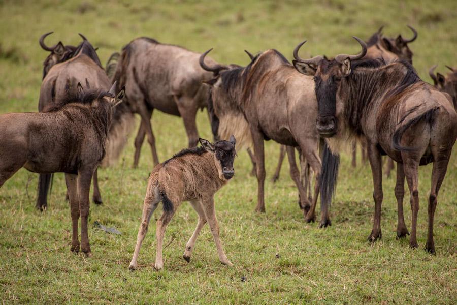 maasai-mara-migration