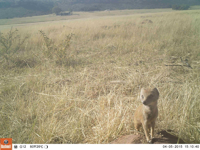 A close-up inspection of the camera by a yellow mongoose