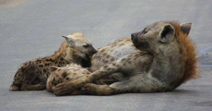 12 creepy facts about hyenas - Africa Geographic