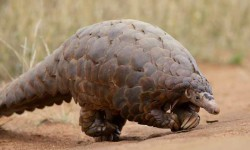 Ground Pangolin at Madikwe Game Reserve in South Africa.© David Brossard / Creative Commons Licence CC BY-SA 2.0