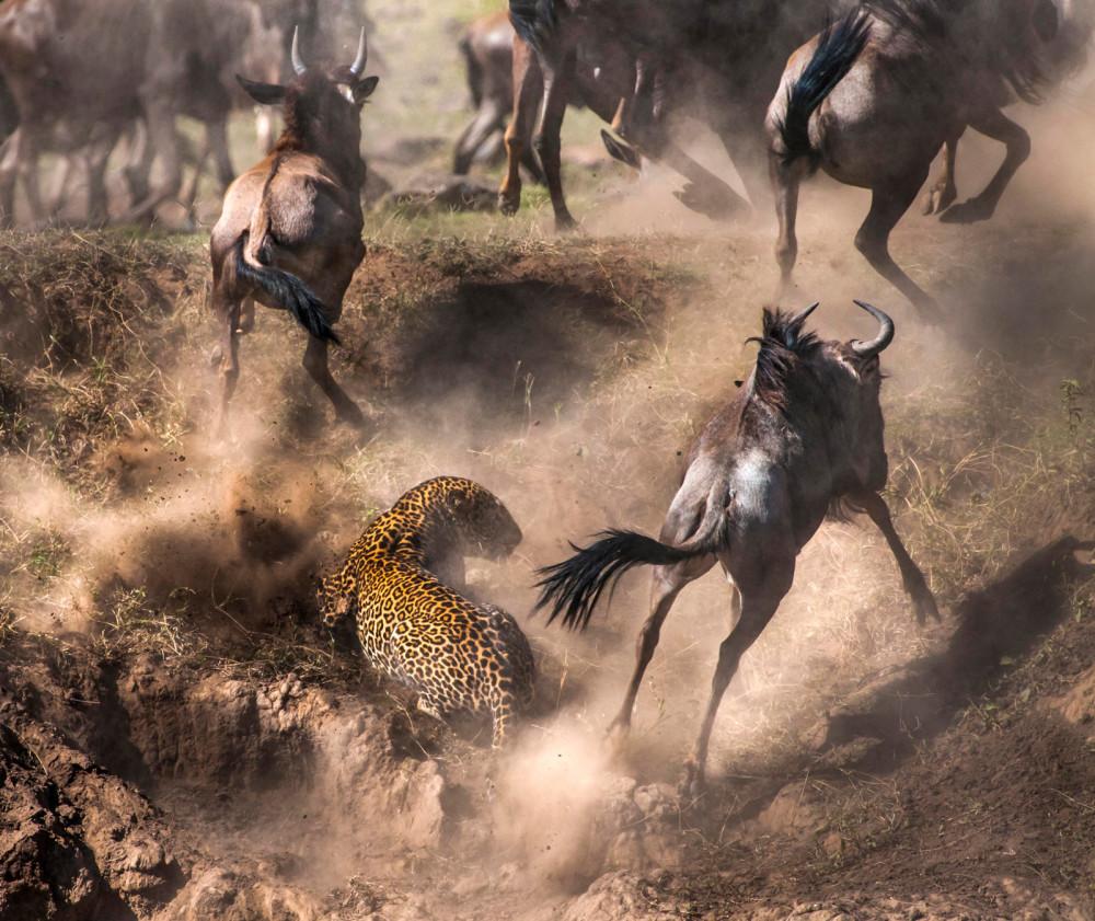 Chaos ensues in the Maasai Mara National Reserve, Kenya ©Paolo Torchio