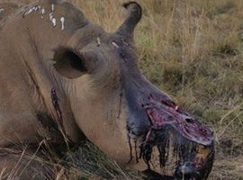 One of the poached rhinos in Rietvlei Nature Reserve