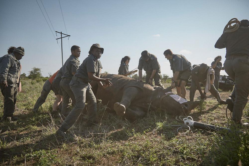 rangers-darted-rhino-kruger-ravi-gajjar