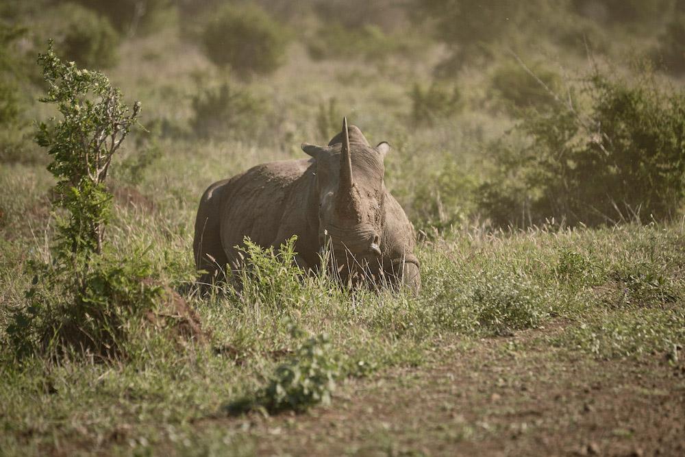 rhino-kruger-ravi-gajjar